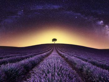 árbol solitario en un campo de lavanda